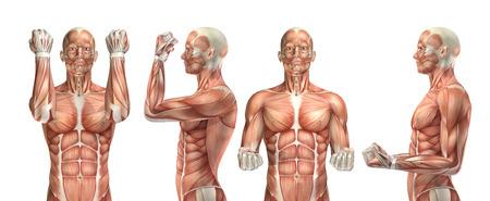 musculoso: 3D render de una figura médica que muestra la flexión y extensión del codo Foto de archivo