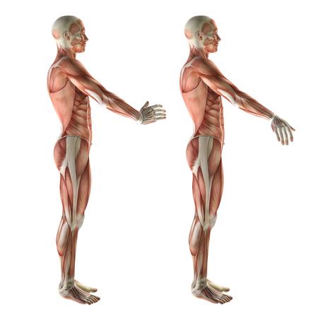 deviation: 3D render of a medical figure showing wrist radial deviation and ulnar deviation Stock Photo