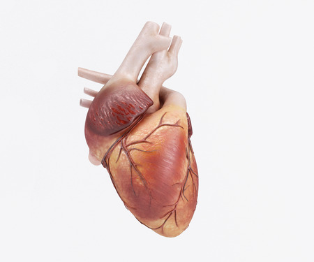 human chest: 3D Render of a healthy Human Heart