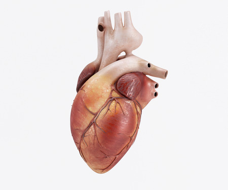 with aorta: 3D Render of a healthy Human Heart