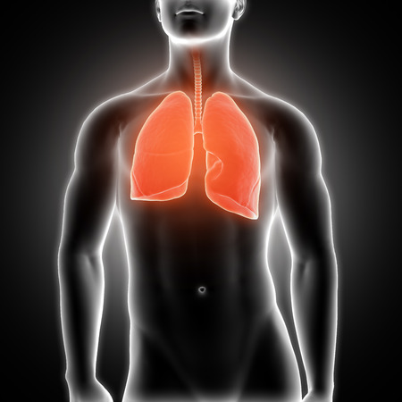 3D render of a medical male figure with lungs highlighted Stock Photo