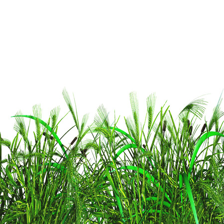 3D render of green grass and wheat on a white background Stok Fotoğraf