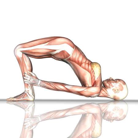 3D render of a female figure with muscle map in bridge yoga pose 版權商用圖片