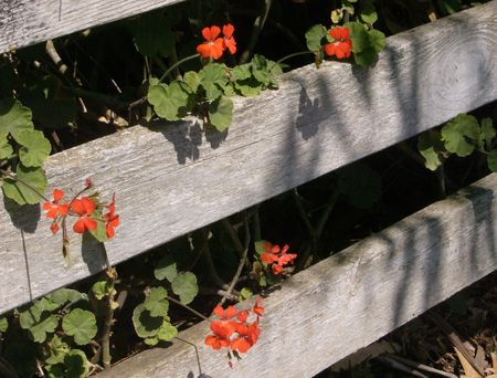 花とよれよれの白いフェンス 写真素材