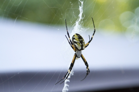 A garden  or writing  spider poised in the middle of her web