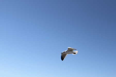 contrail: A lone seagull on gradient blue sky with a faint jet contrail in the lower left quadrant Stock Photo