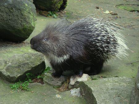 Cute Porcupine