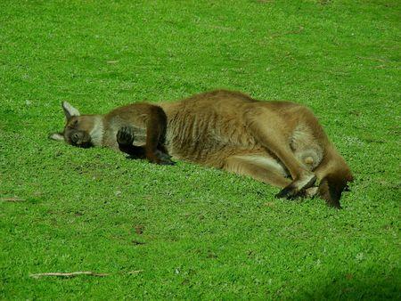 Large Brown Kangaroo Lazing Around on Green Lawn Stock Photo