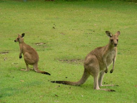 opposite: Two Kangaroos on a Lawn Facing Opposite Directions