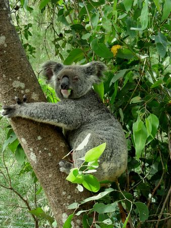 Koala Bear on a Gum Tree Munching on Gum Tree Leaf and Looking Straight into the Camera