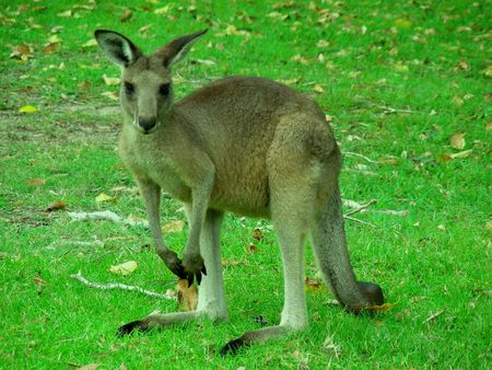 Cute Young Kangaroo Standing on Green Lawn Looking Straight into the Camera Stock Photo