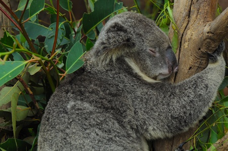 Koala Bear Sleeping on a Eucalyptus Tree