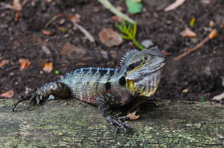 frilled: Australian Eastern Water Dragon (Physignathus lesueurii lesueurii)