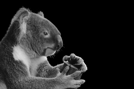 coala: Imagen aislado de un Koala lindo tener sobre fondo negro Foto de archivo
