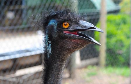 Emu- Head of a Funny Emu photo