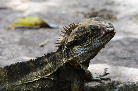 close p: Eastern Water Dragon Lizard (Physignathus lesueurii, P. l. lesueurii) on a rock, Close up  on a Rock Stock Photo