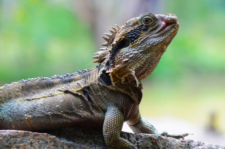 close p: Eastern Water Dragon Lizard (Physignathus lesueurii, P. l. lesueurii) on a rock, Close up against blurry colourful background Stock Photo