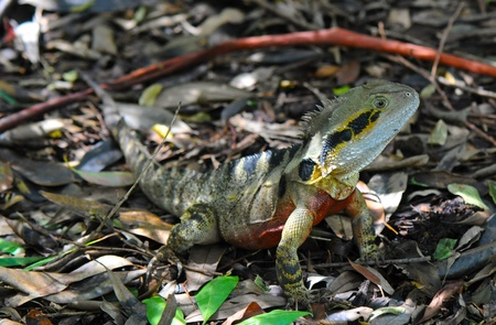 Eastern Water Dragon Physignathus lesueurii Lizard  photo