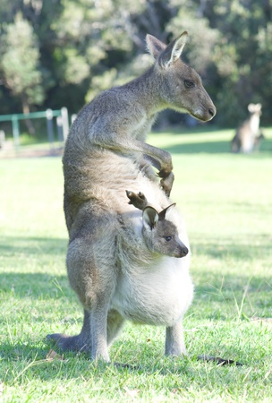 animal pouch: Kangaroo with Joey in Pouch Scratching Herself
