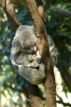 cuddled: Koala - Little Koala Bear Cuddled Up Sleeping  Stock Photo