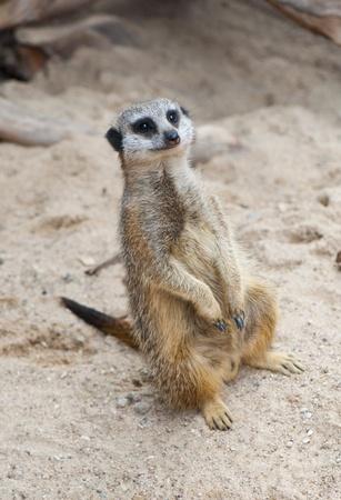 suricate: Meerkat (Suricate, Suricata suricatta)