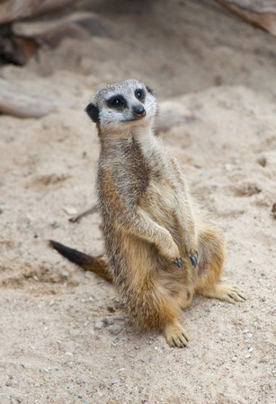 suricatta: Meerkat (Suricate, Suricata suricatta)