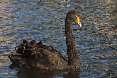 Black Swan Swimming in River Torrens, Adelaide, South Australia photo