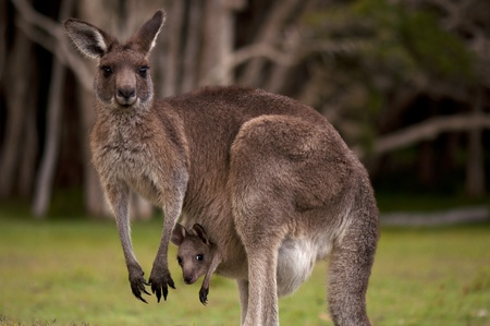 australia jungle: Kangaroo Mum with a Baby Joey in the Pouch - Closeup