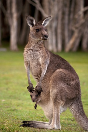 Kangaroo Mum with a Baby Joey in the Pouch - Closeup photo