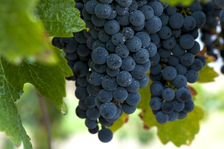 bunches: Ripe Red Wine Grapes, Coonawarra Wine Region, South Australia