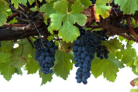 포도 수확: 잘 익은 레드 와인 포도, 쿠 나와라 와인 지역, 사우스 오스트레일리아
