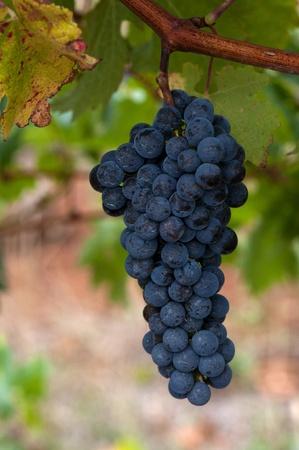 Ripe Red Wine Grapes, Coonawarra Wine Region, South Australia