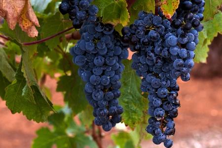 Ripe Red Wine Grapes, Coonawarra Wine Region, South Australia photo