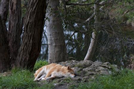 Dingo Sleeping  Under Trees