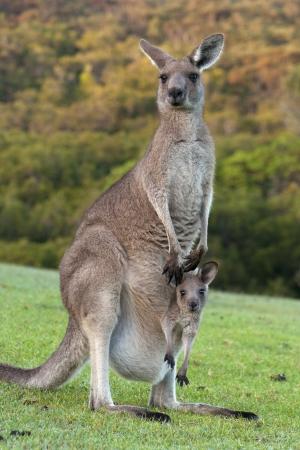 Canguro con bebé Joey en bolsa