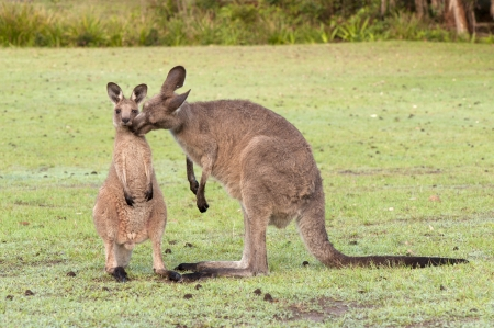 motherly love: Motherly Love- Kangaroo Mother  Kissing  Her Baby Joey