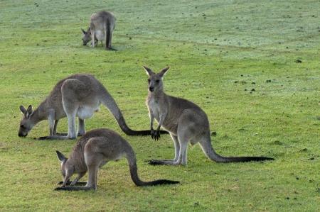 Group of Kangaroos Feeding Stock Photo