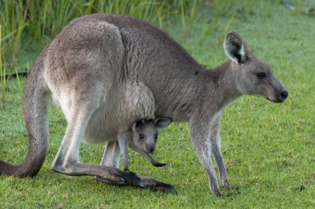 joey: Kangaroo Mother with Cute Baby Joey in Pouch