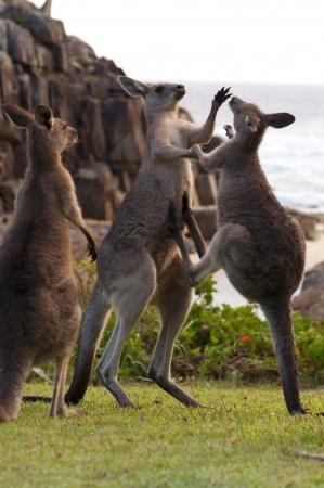 animal ritual: Kangaroos Boxing