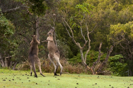 social behaviour: Boxing Kangaroos  Stock Photo