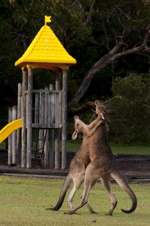 animal ritual: Boxing Kangaroos on a Playground