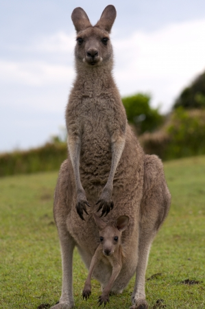 kangaroo mother: Kangaroo Female with Baby Joey in Pouch Stock Photo