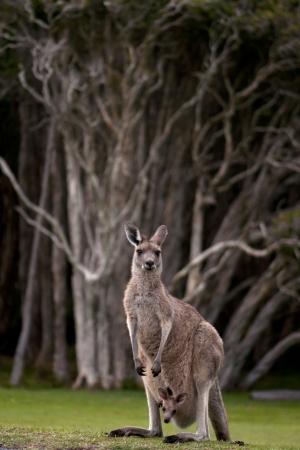joey: Kangaroo with Joey in Gumtree Forest