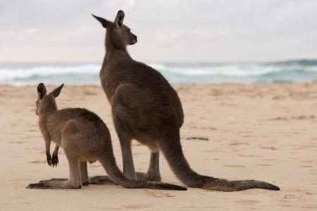 Kangaroos Looking at the Ocean, Australia