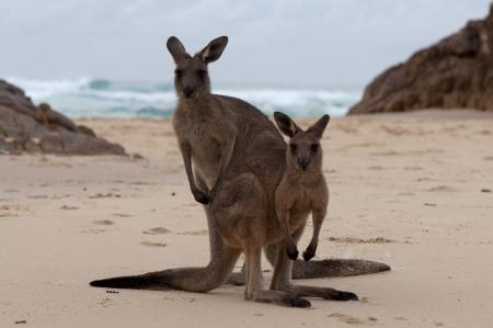 Kangaroos on a Beach, Australia