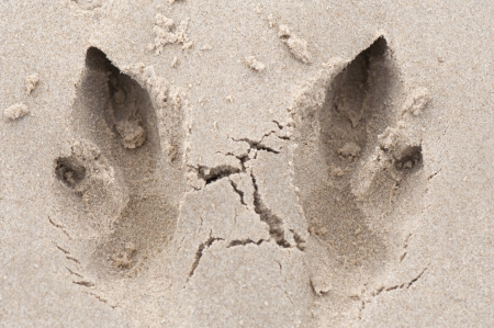 footmark: Kangaroo Footprints in Beach Sand Stock Photo