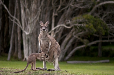 Very Young Joey About to Climb Back into the Pouch Stock Photo