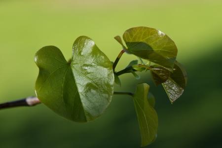 Judas Tree Leaves, Closeup
