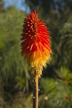 Kniphofia Northiae Flower