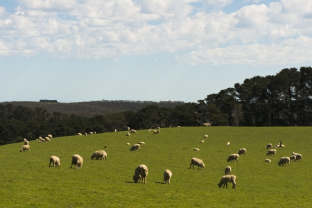 Countryside Landscape with Sheep Stock Photo